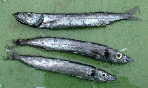 静岡県沼津港の巻き網に混ざっていた若魚