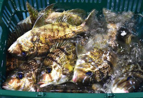 小田原魚市場に揚がったメイチダイ