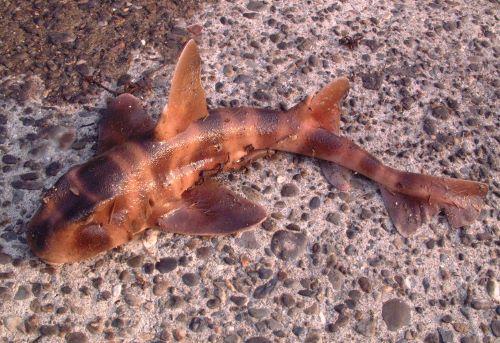 千葉県外房の漁港に捨てられていたネコザメ