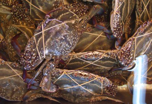 魚市場で活かされている小型のガザミ