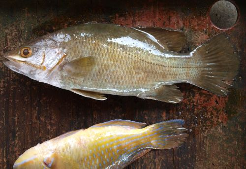 沖縄県与那城漁協の競り場に並ぶ。