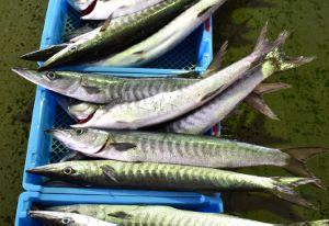 沖縄本島の市場に並ぶオオカマス