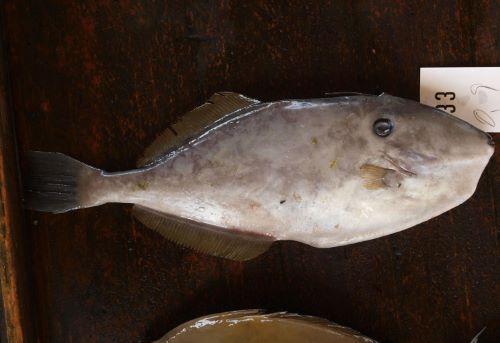 沖縄本島与那城漁協の競り場に並ぶウスバハギ