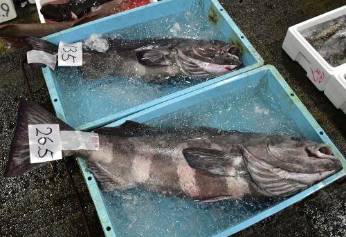神奈川県小田原魚市場に並ぶアブラボウズ