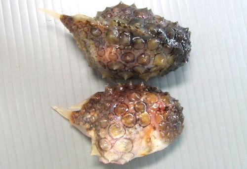 2匹並んだナメダンゴ