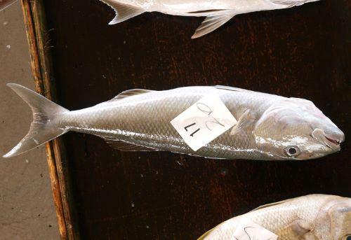 沖縄与那城漁協に並ぶアオチビキ